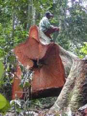 Logging mahogany tree in Central Africa