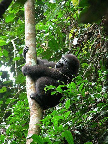 Western lowland gorilla in tree