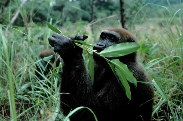 Western gorilla eats wild ginger